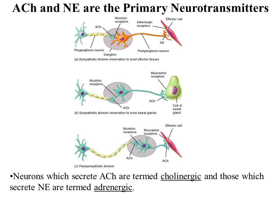 ACh and NE are the Primary Neurotransmitters Neurons which secrete ACh are termed cholinergic and those which secrete NE are termed adrenergic.