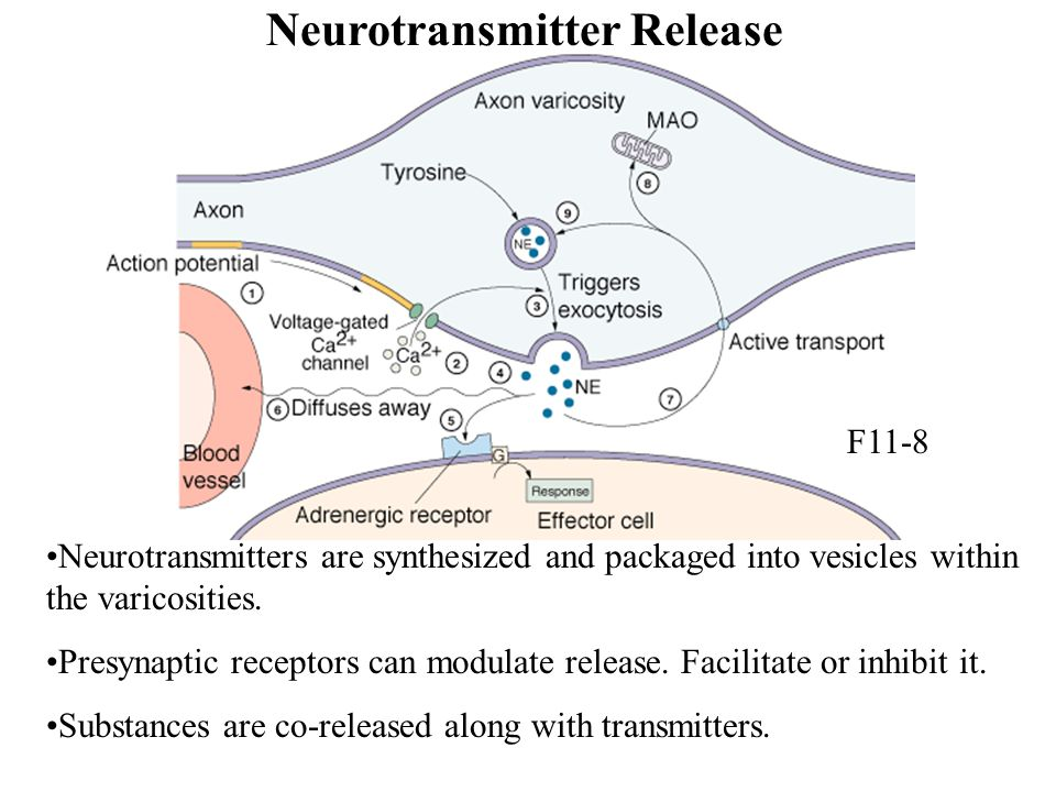 Neurotransmitter Release Neurotransmitters are synthesized and packaged into vesicles within the varicosities. Presynaptic receptors can modulate rele