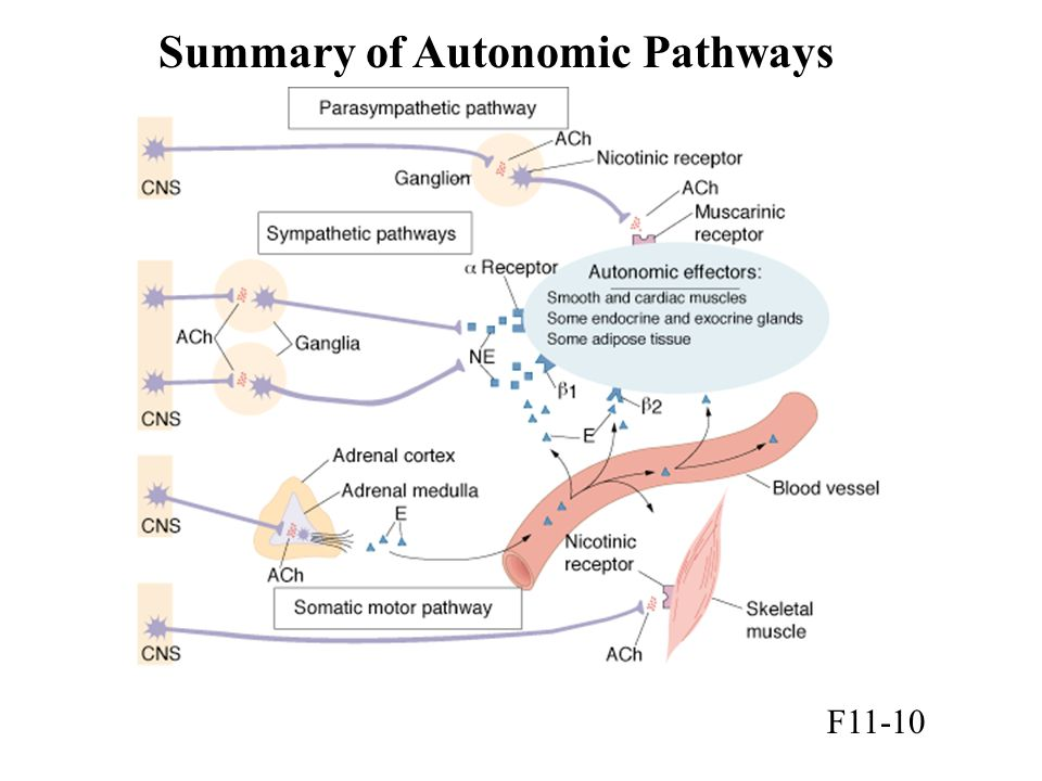 Summary of Autonomic Pathways F11-10