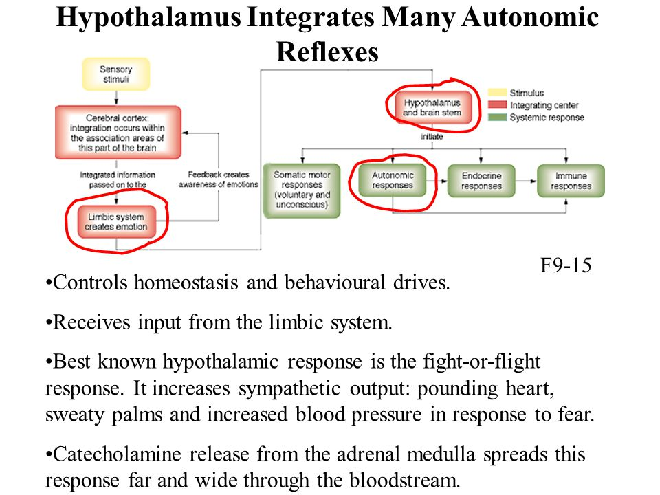 Hypothalamus Integrates Many Autonomic Reflexes Controls homeostasis and behavioural drives. Receives input from the limbic system. Best known hypotha