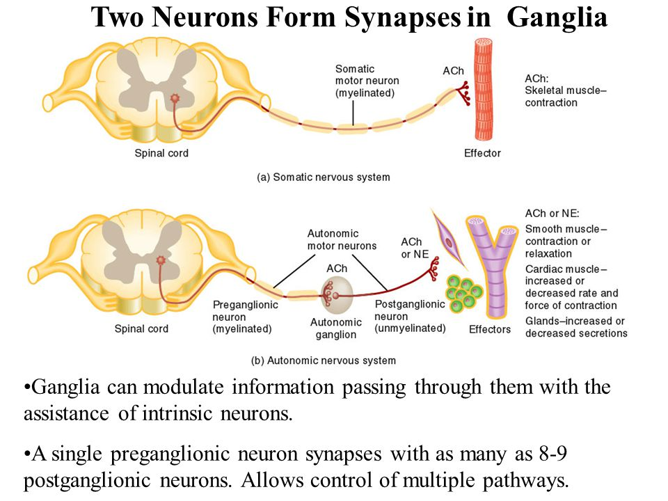 Two Neurons Form Synapses in Ganglia Ganglia can modulate information passing through them with the assistance of intrinsic neurons. A single pregangl