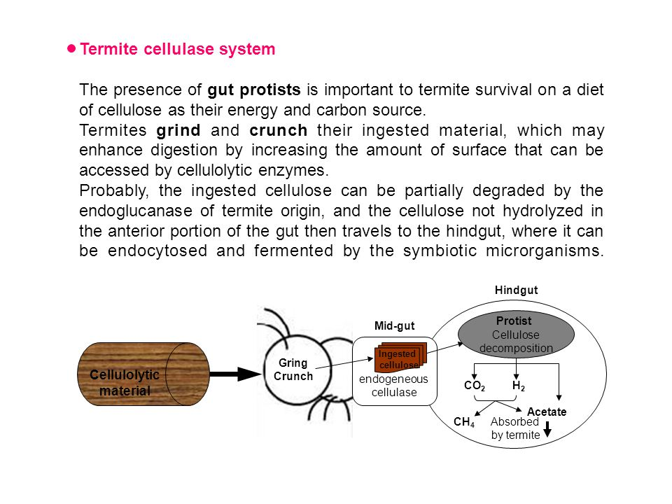 Termite cellulase system The presence of gut protists is important to termite survival on a diet of cellulose as their energy and carbon source.