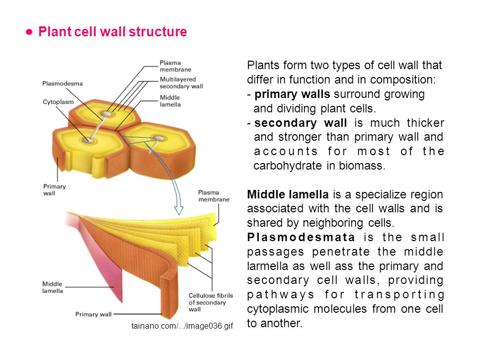 Plant cell wall structure Plants form two types of cell wall that differ in function and in composition: - primary walls surround growing and dividing plant cells.