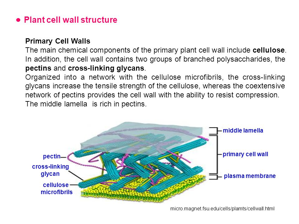 Plant cell wall structure Primary Cell Walls The main chemical components of the primary plant cell wall include cellulose.