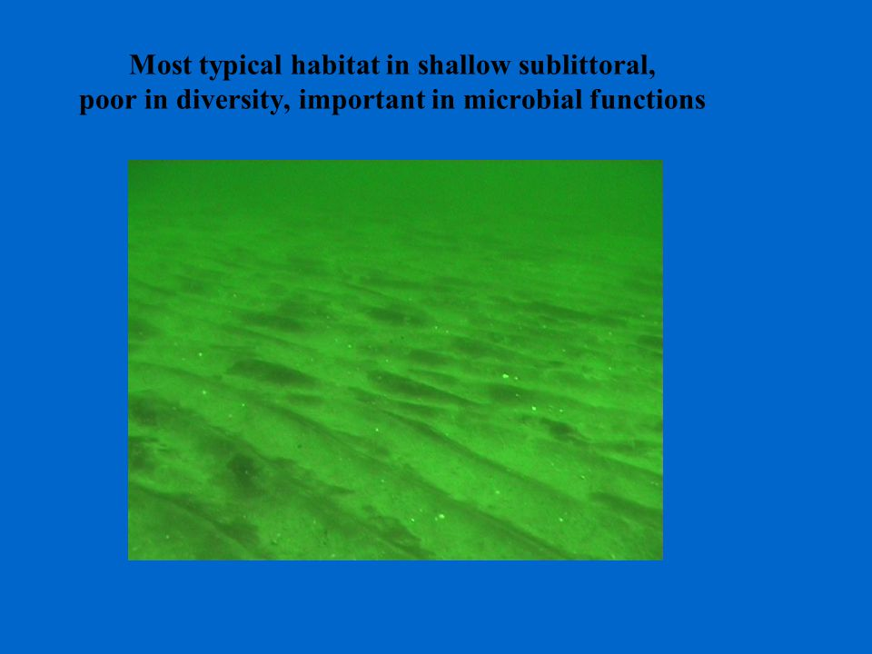 Most typical habitat in shallow sublittoral, poor in diversity, important in microbial functions