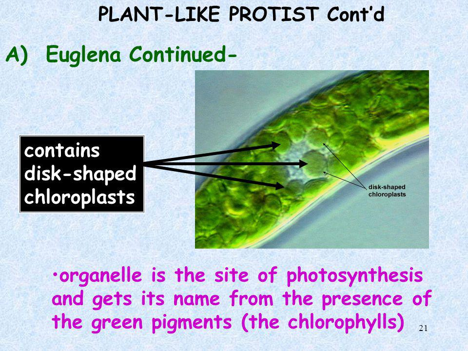 20 PLANT-LIKE PROTIST Cont'd A) Euglena- one celled alga that moves with one flagellum red eyespot near front end to find light…Why? lives in fresh wa