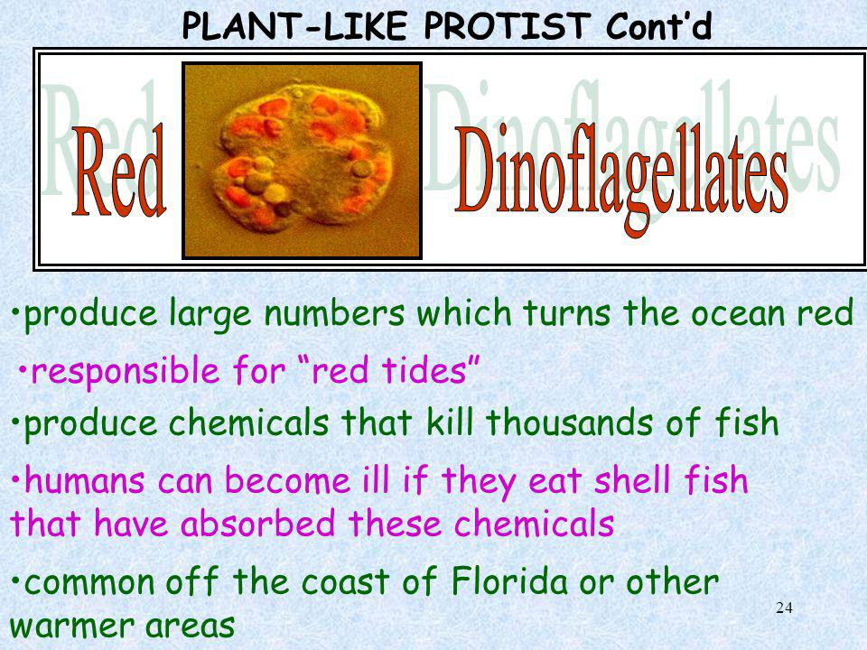 23 PLANT-LIKE PROTIST Cont'd C) Dinoflagellates Algae that is usually found in oceans Usually brown or red in color Have hidden chlorophyll due to dar