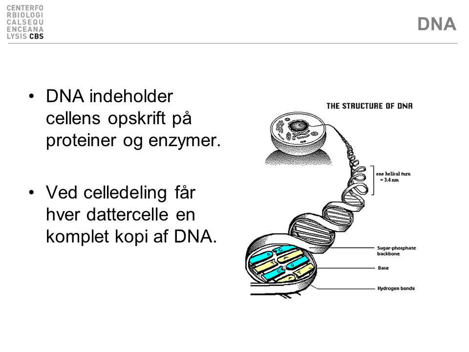 DNA DNA indeholder cellens opskrift på proteiner og enzymer.