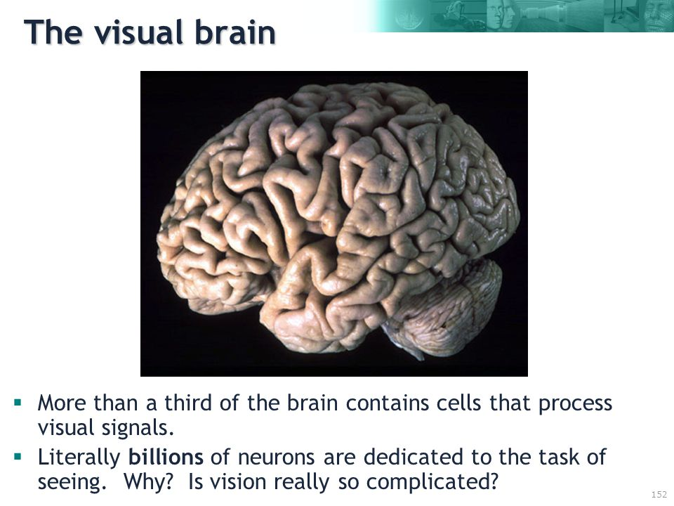 152 The visual brain  More than a third of the brain contains cells that process visual signals.