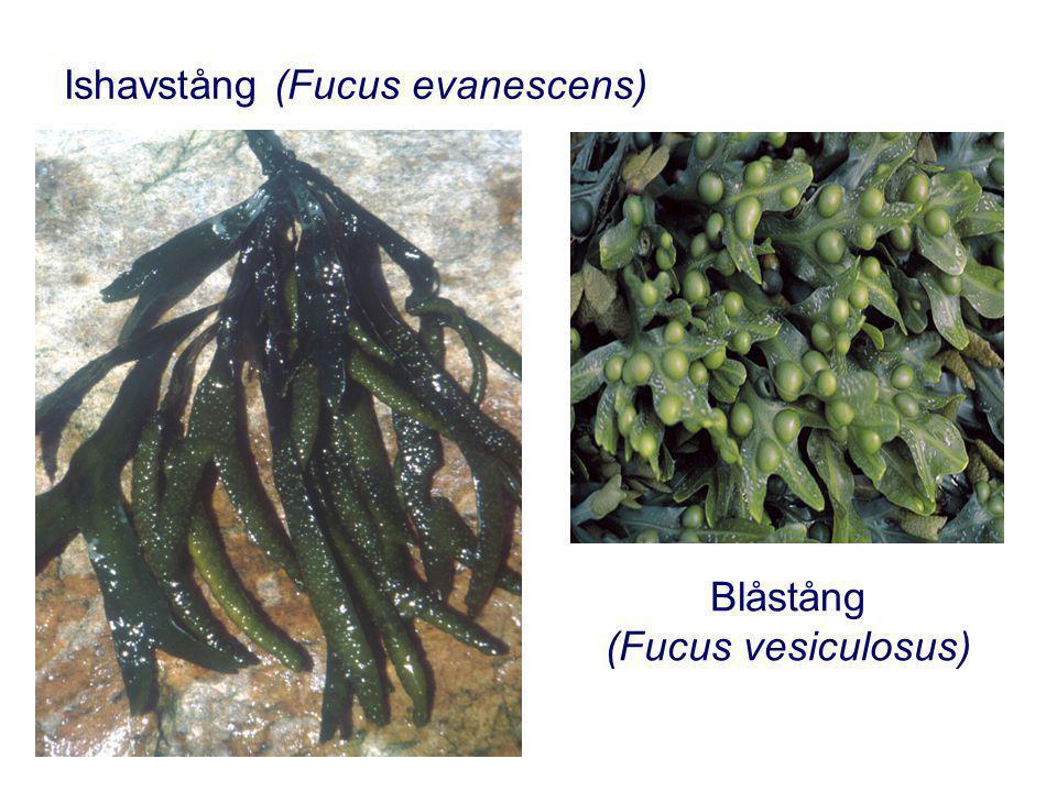 Ishavstång (Fucus evanescens) Blåstång (Fucus vesiculosus)