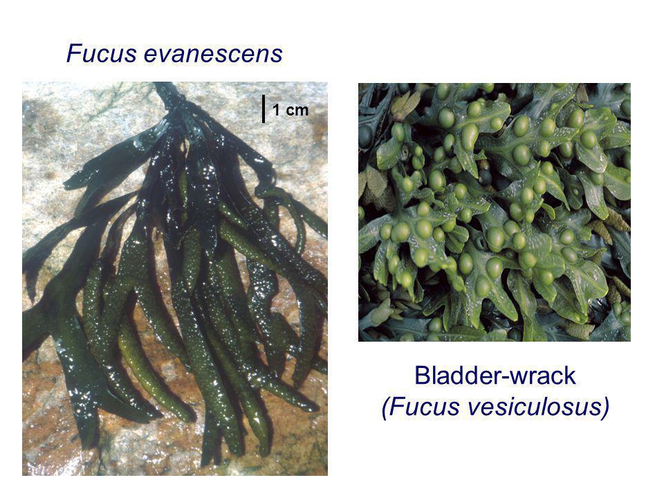 Fucus evanescens Bladder-wrack (Fucus vesiculosus) 1 cm