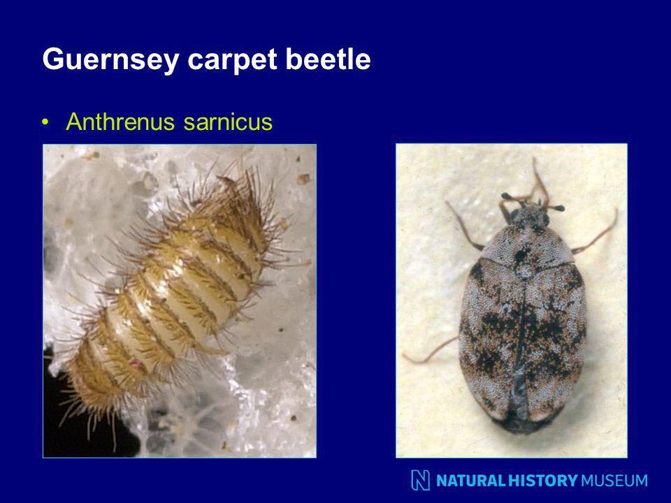 Guernsey carpet beetle Anthrenus sarnicus