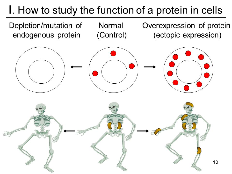 I. How to study the function of a protein in cells Depletion/mutation of endogenous protein Overexpression of protein (ectopic expression) Normal (Con