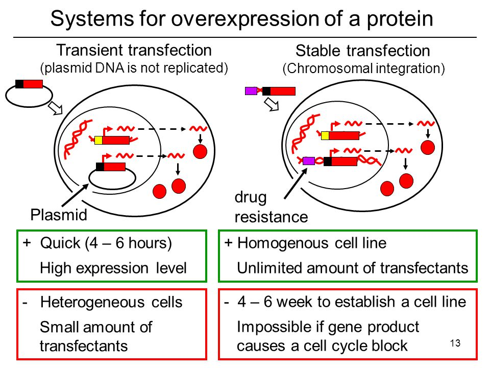 Systems for overexpression of a protein + Quick (4 – 6 hours) High expression level - Heterogeneous cells Small amount of transfectants Transient transfection (plasmid DNA is not replicated) - 4 – 6 week to establish a cell line Impossible if gene product causes a cell cycle block + Homogenous cell line Unlimited amount of transfectants Plasmid drug resistance Stable transfection (Chromosomal integration) 13