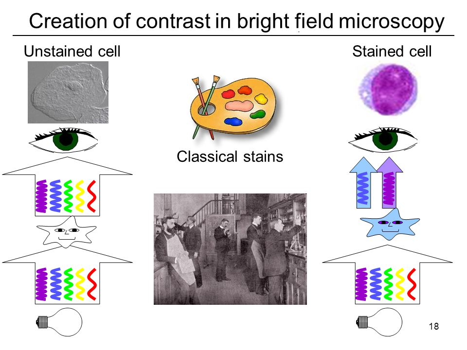 Classical stains Stained cellUnstained cell Creation of contrast in bright field microscopy 18