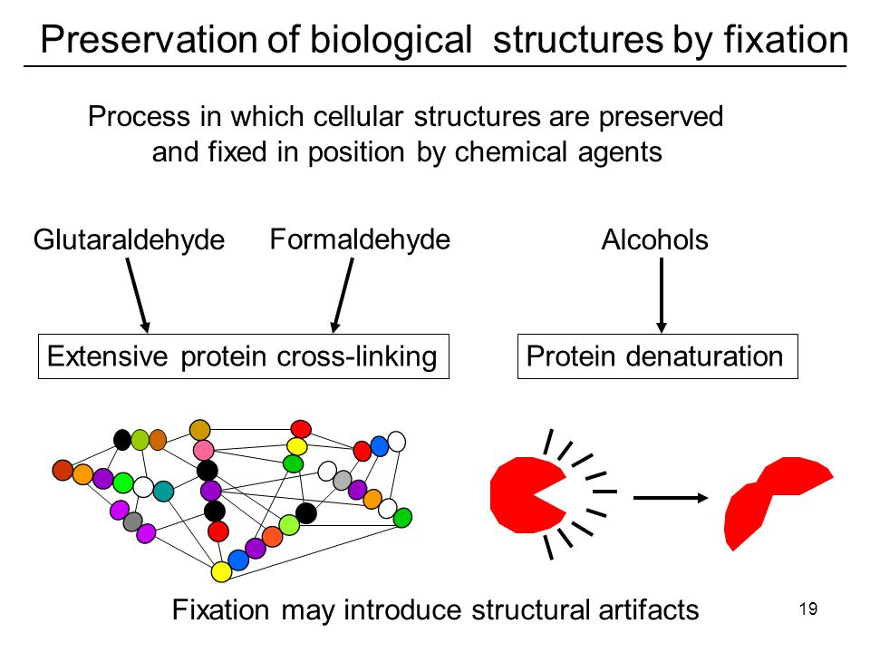 Preservation of biological structures by fixation Glutaraldehyde Extensive protein cross-linking Formaldehyde Alcohols Fixation may introduce structural artifacts Process in which cellular structures are preserved and fixed in position by chemical agents Protein denaturation 19