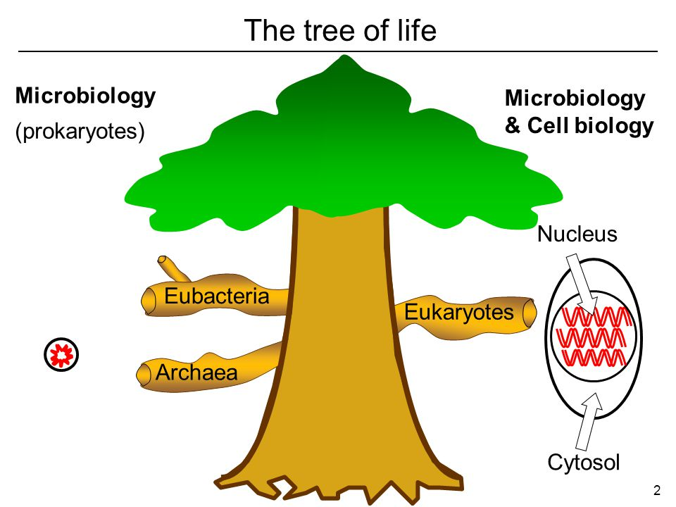Eukaryotes Archaea Eubacteria (prokaryotes) Cytosol Nucleus The tree of life Microbiology & Cell biology 2
