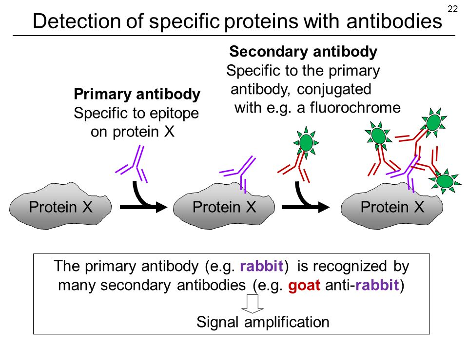 Detection of specific proteins with antibodies Protein X Primary antibody Specific to epitope on protein X The primary antibody (e.g.
