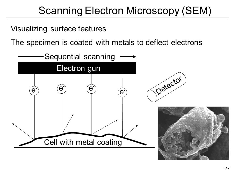 Scanning Electron Microscopy (SEM) The specimen is coated with metals to deflect electrons Visualizing surface features e-e- e-e- e-e- e-e- Cell with metal coating Detector Electron gun Sequential scanning 27