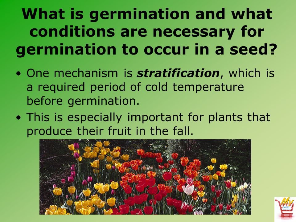 What is germination and what conditions are necessary for germination to occur in a seed? One mechanism is stratification, which is a required period