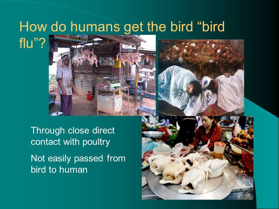 How do humans get the bird bird flu .