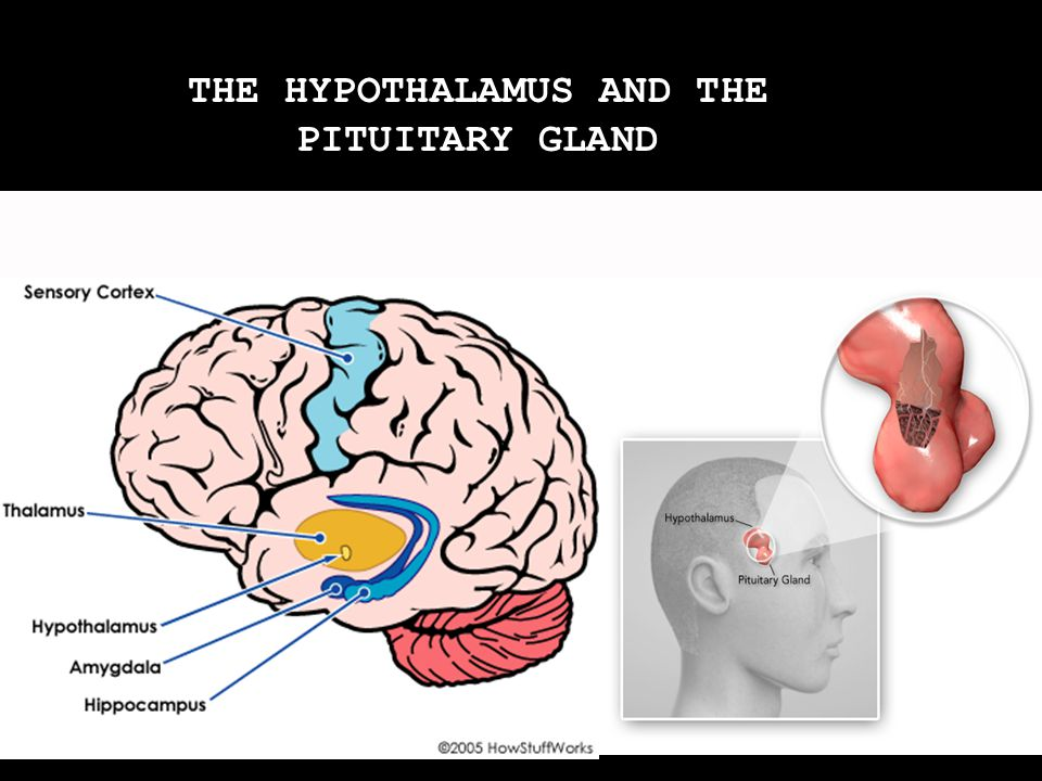 THE HYPOTHALAMUS AND THE PITUITARY GLAND