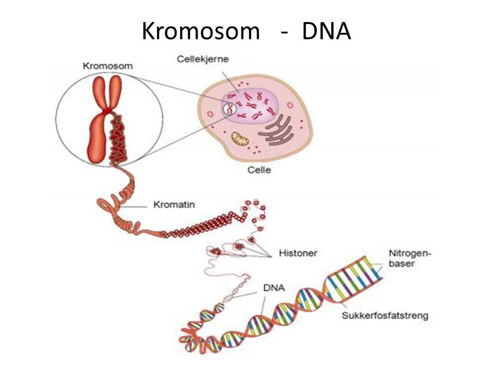 Kromosom - DNA