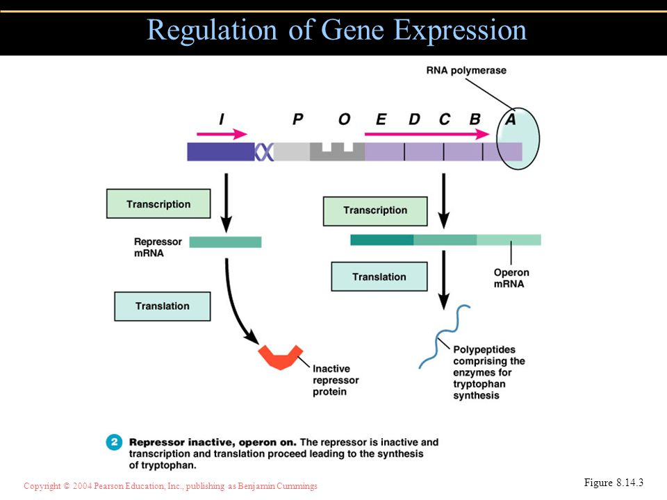 Copyright © 2004 Pearson Education, Inc., publishing as Benjamin Cummings Regulation of Gene Expression Figure 8.14.3