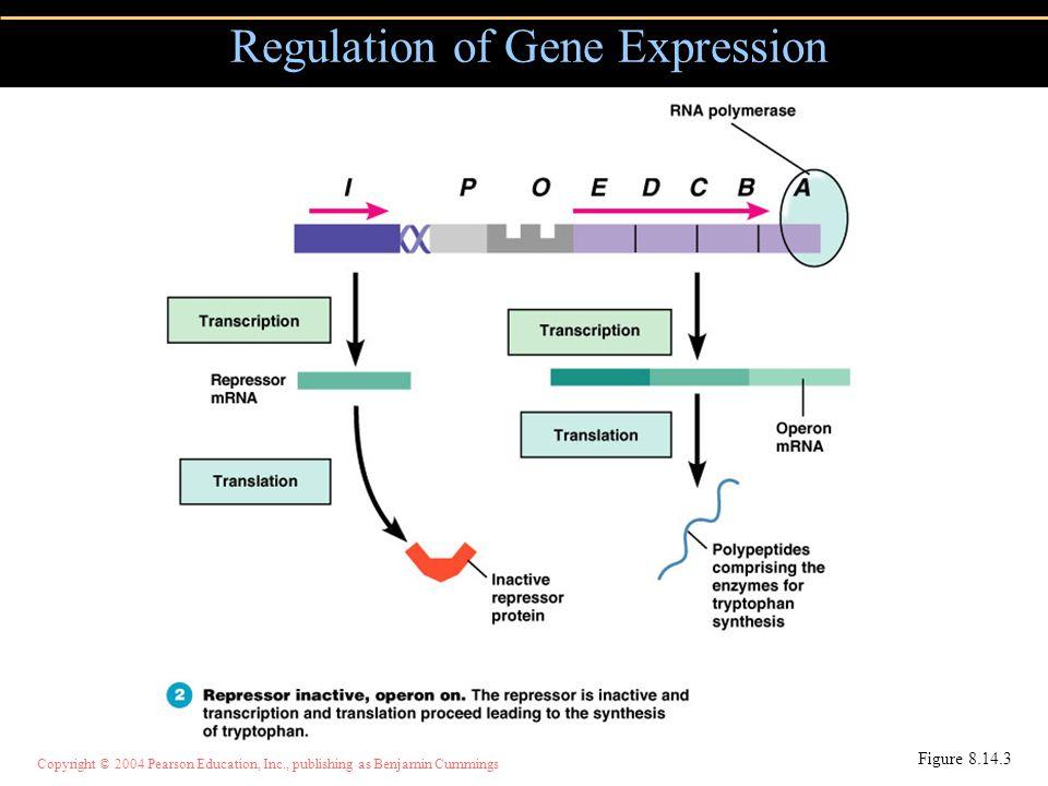 Copyright © 2004 Pearson Education, Inc., publishing as Benjamin Cummings Regulation of Gene Expression Figure 8.14.3