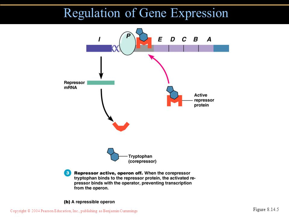 Copyright © 2004 Pearson Education, Inc., publishing as Benjamin Cummings Regulation of Gene Expression Figure 8.14.5