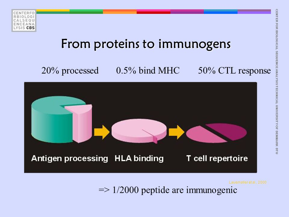CENTER FOR BIOLOGICAL SEQUENCE ANALYSISTECHNICAL UNIVERSITY OF DENMARK DTU From proteins to immunogens Lauemøller et al., 2000 20% processed0.5% bind MHC50% CTL response => 1/2000 peptide are immunogenic