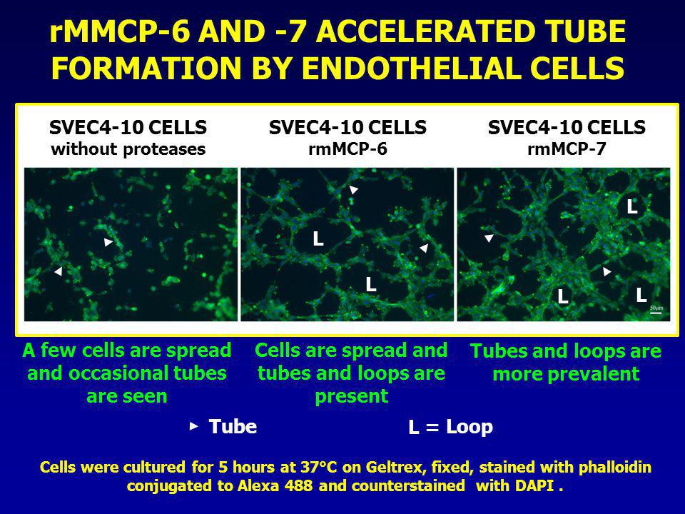 rMMCP-6 AND -7 ACCELERATED TUBE FORMATION BY ENDOTHELIAL CELLS Cells were cultured for 5 hours at 37°C on Geltrex, fixed, stained with phalloidin conj