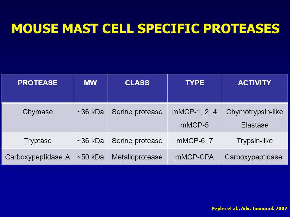Control cells were cultured in absence of antibodies or proteases ANTI-mMCP-6 AND ANTI-mMCP-7 REDUCE TUBE FORMATION Antibodies were a gift from Dr.