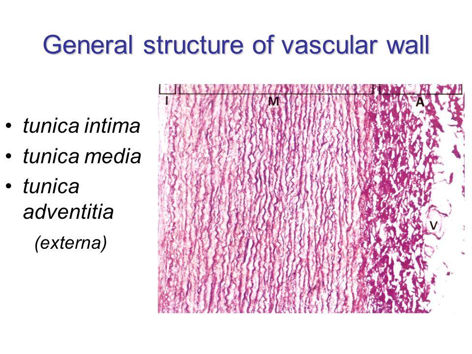 Tunica intima endothelial cells (endotheliocyti) –simple flat/squamous epithelium –on basal lamina subendothelial layer (stratum subendotheliale) –loose connective tissue –some smooth muscle cells lamina elastica interna –elastin