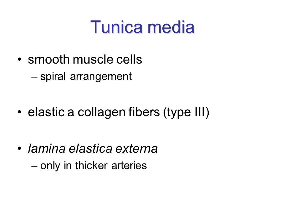 Tunica adventitia (externa) fibroblasts collagen fibers (type I) elastic fibers vasa vasorum nervi vasorum