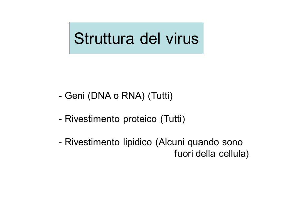 La trascrizione del DNA in RNA virale nel nucleo della cellula ospite è facilitato dalla proteina Nef Non ci sono ancora inibitori di questa proteina 4 o step
