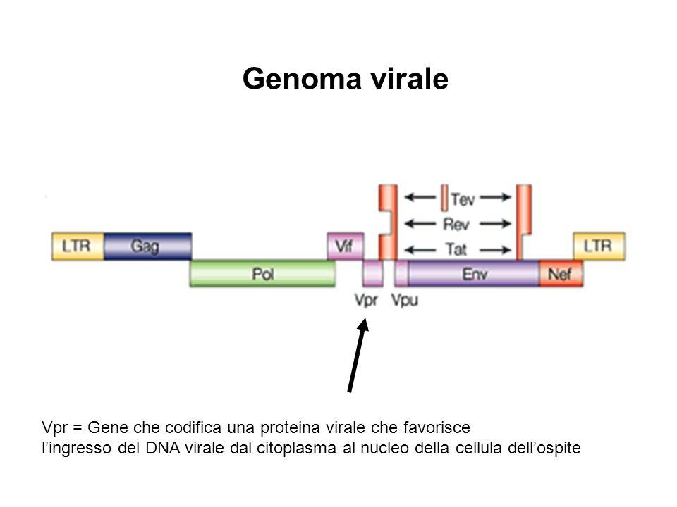 Vpr = Gene che codifica una proteina virale che favorisce l'ingresso del DNA virale dal citoplasma al nucleo della cellula dell'ospite Genoma virale