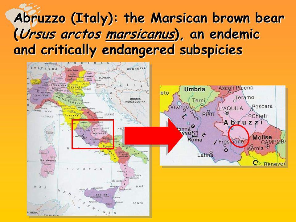 Abruzzo (Italy): the Marsican brown bear (Ursus arctos marsicanus), an endemic and critically endangered subspicies
