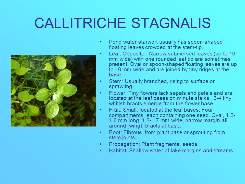 CALLITRICHE STAGNALIS Pond water-starwort usually has spoon-shaped floating leaves crowded at the stem-tip. Leaf: Opposite. Narrow submersed leaves (u