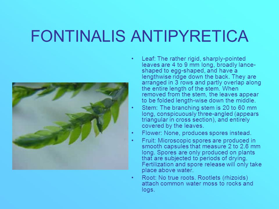FONTINALIS ANTIPYRETICA Leaf: The rather rigid, sharply-pointed leaves are 4 to 9 mm long, broadly lance- shaped to egg-shaped, and have a lengthwise