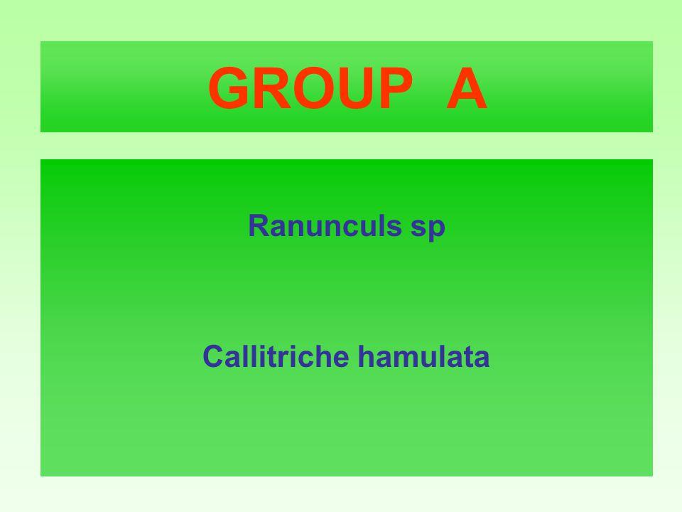 GROUP A Ranunculs sp Callitriche hamulata