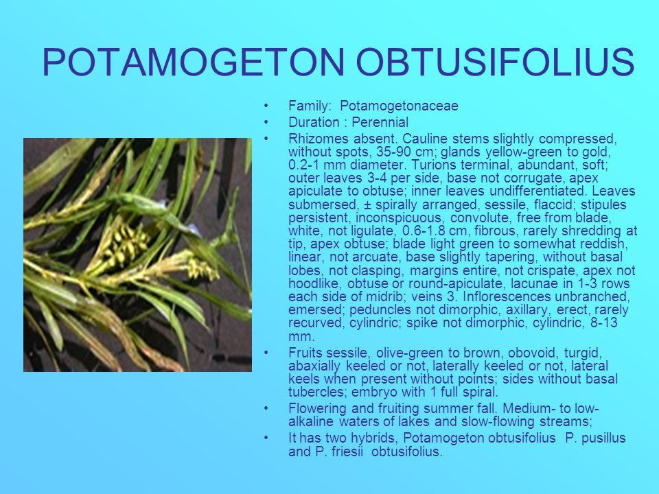 POTAMOGETON OBTUSIFOLIUS Family: Potamogetonaceae Duration : Perennial Rhizomes absent. Cauline stems slightly compressed, without spots, 35-90 cm; gl
