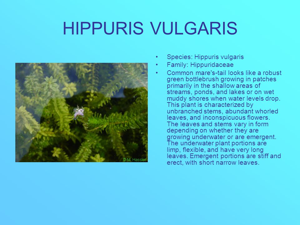 HIPPURIS VULGARIS Species: Hippuris vulgaris Family: Hippuridaceae Common mare s-tail looks like a robust green bottlebrush growing in patches primarily in the shallow areas of streams, ponds, and lakes or on wet muddy shores when water levels drop.