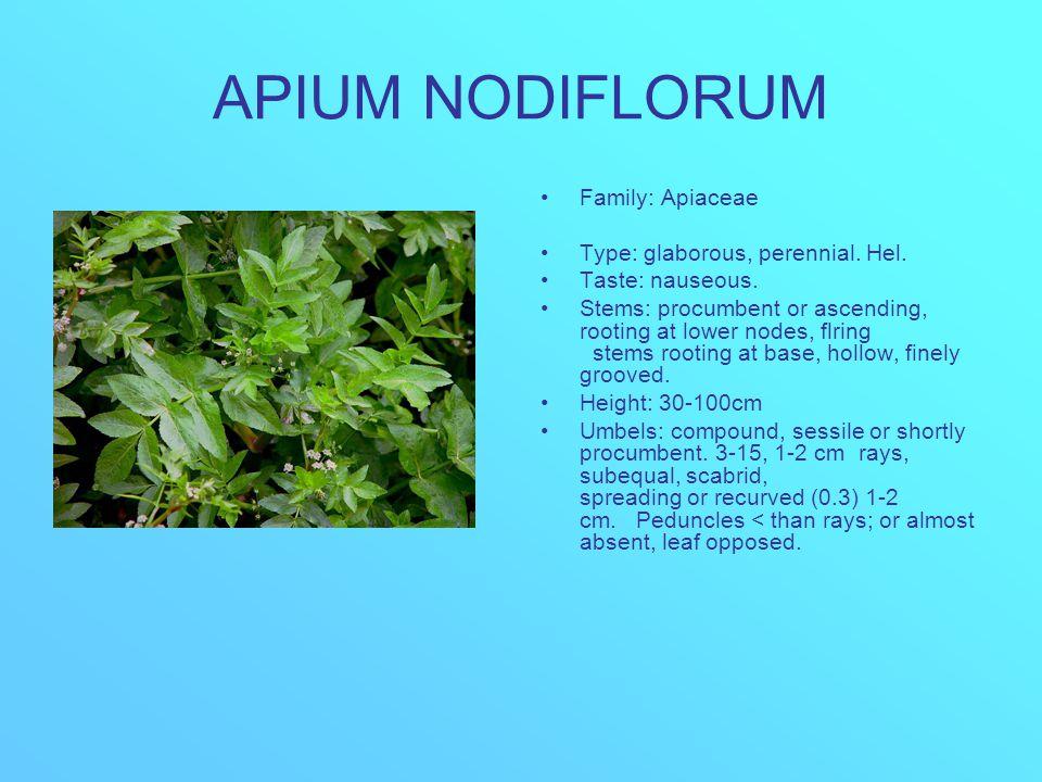 APIUM NODIFLORUM Family: Apiaceae Type: glaborous, perennial. Hel. Taste: nauseous. Stems: procumbent or ascending, rooting at lower nodes, flring ste