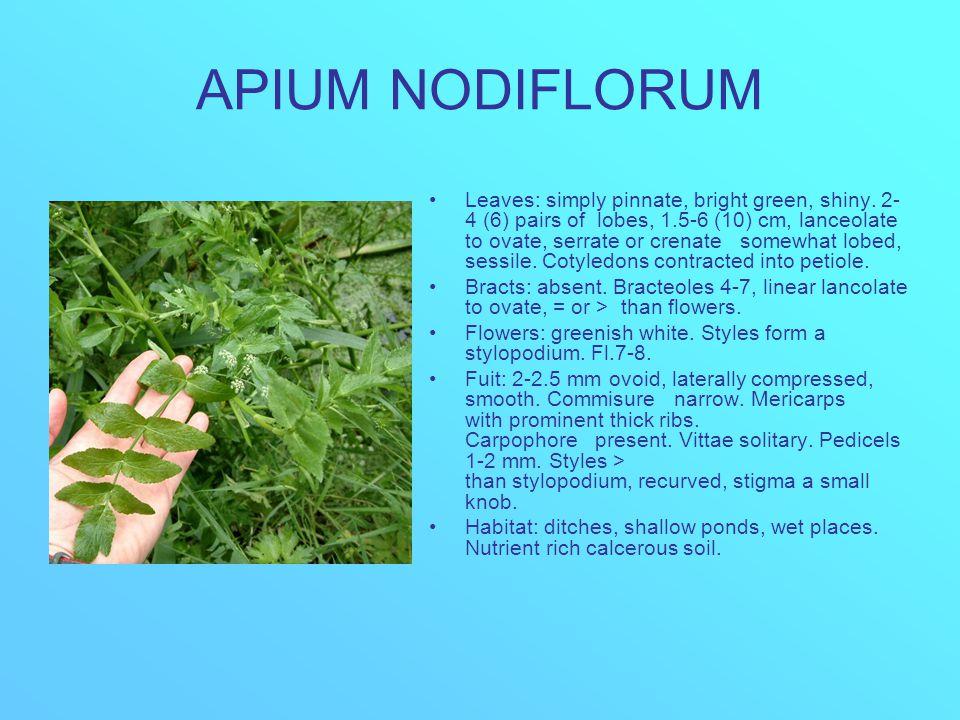 APIUM NODIFLORUM Leaves: simply pinnate, bright green, shiny.