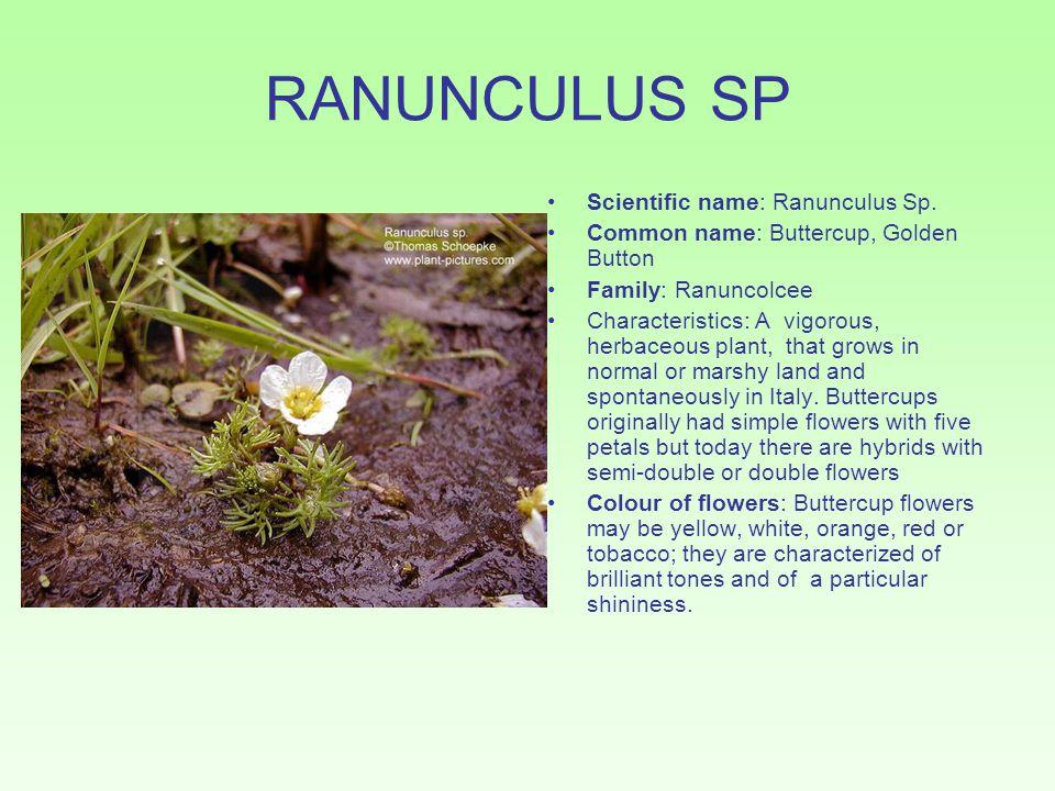 RANUNCULUS SP Scientific name: Ranunculus Sp. Common name: Buttercup, Golden Button Family: Ranuncolcee Characteristics: A vigorous, herbaceous plant,