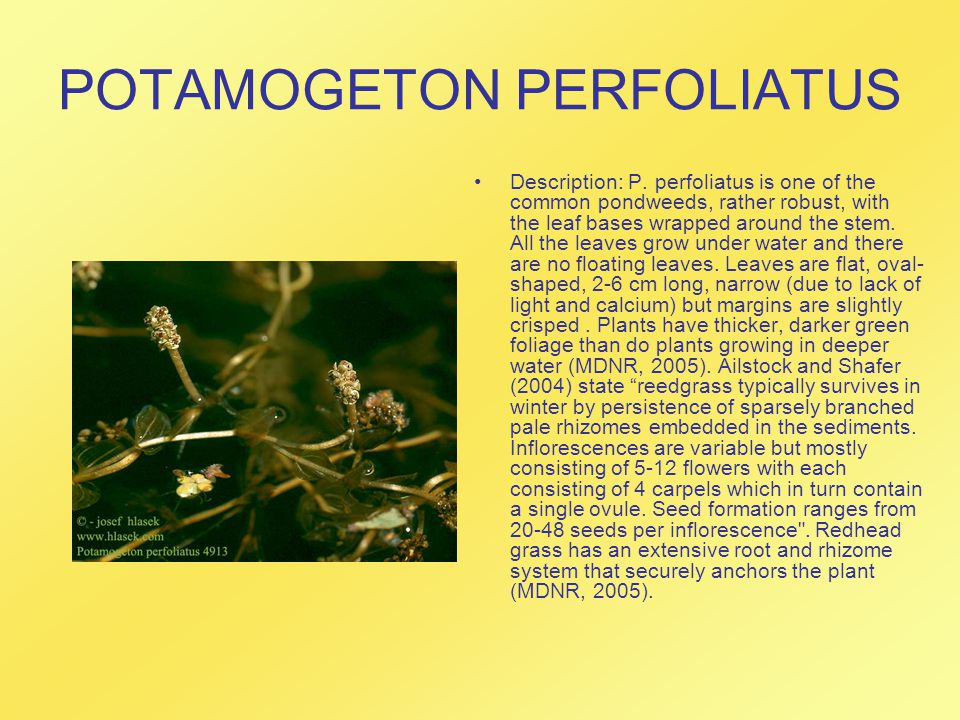 POTAMOGETON PERFOLIATUS Description: P. perfoliatus is one of the common pondweeds, rather robust, with the leaf bases wrapped around the stem. All th