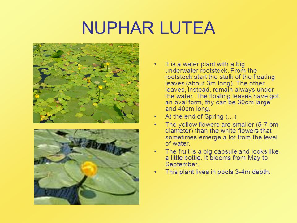 NUPHAR LUTEA It is a water plant with a big underwater rootstock.