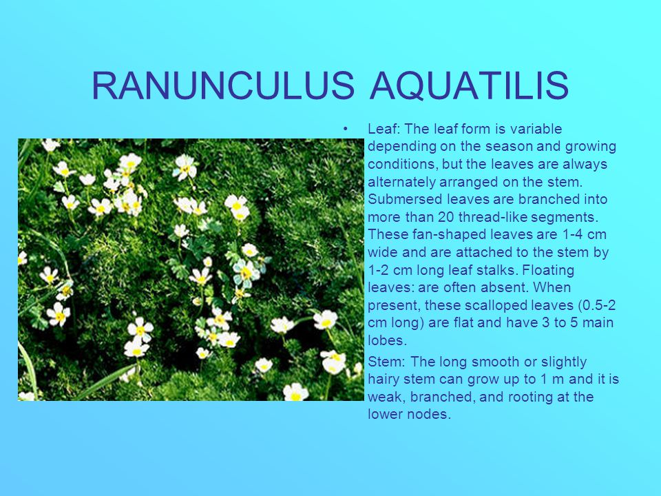 RANUNCULUS AQUATILIS Leaf: The leaf form is variable depending on the season and growing conditions, but the leaves are always alternately arranged on