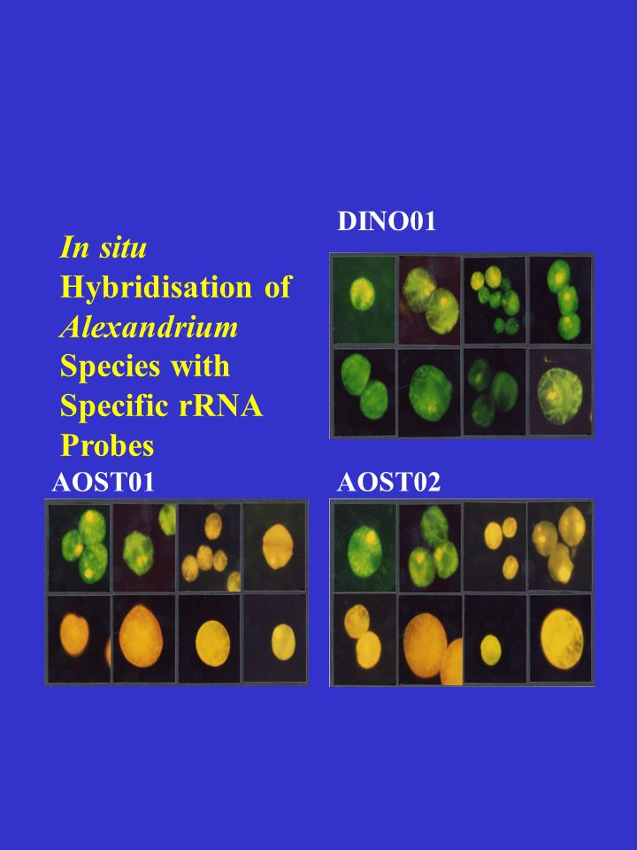 DINO01 AOST02AOST01 In situ Hybridisation of Alexandrium Species with Specific rRNA Probes